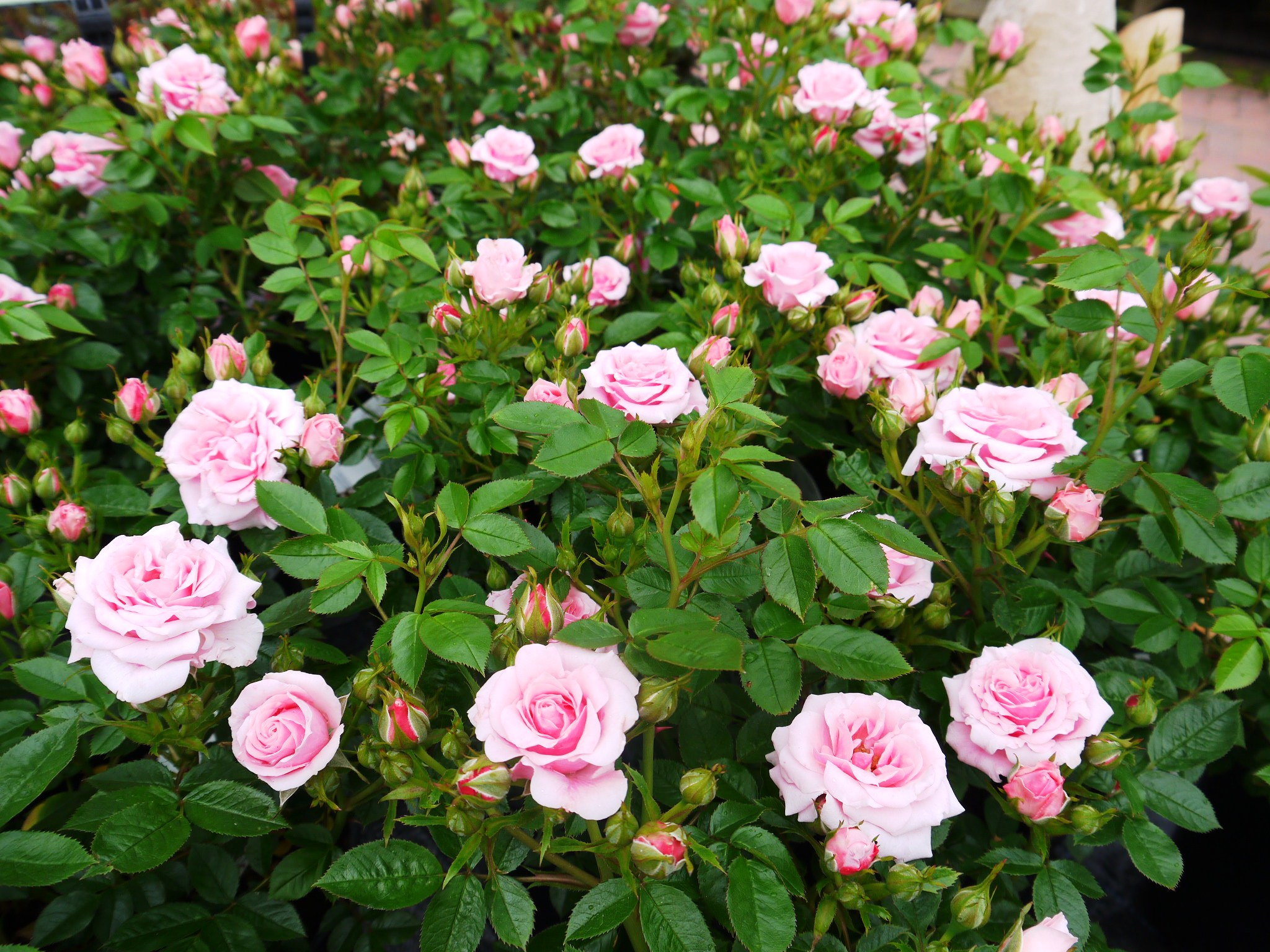 Best Tips To Maintain Quality Of Roses To Enjoy Fast Rose Delivery Services!