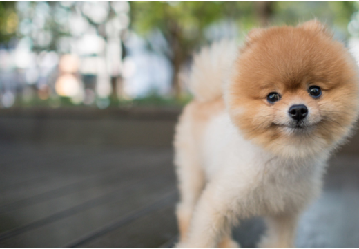Everything About Pomeranian Dogs